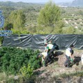 marihuana_alicante3