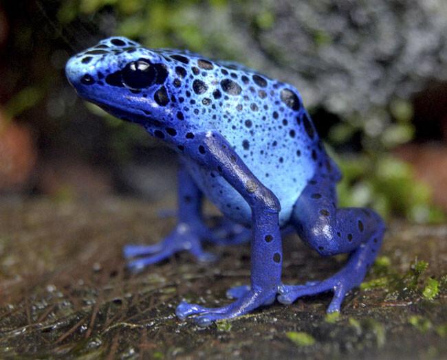 Agosto-2014---rana-veneno-azul---Bioparc-Valencia