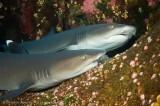 Sharks - Marine Reserves Documentation, Mexico.
