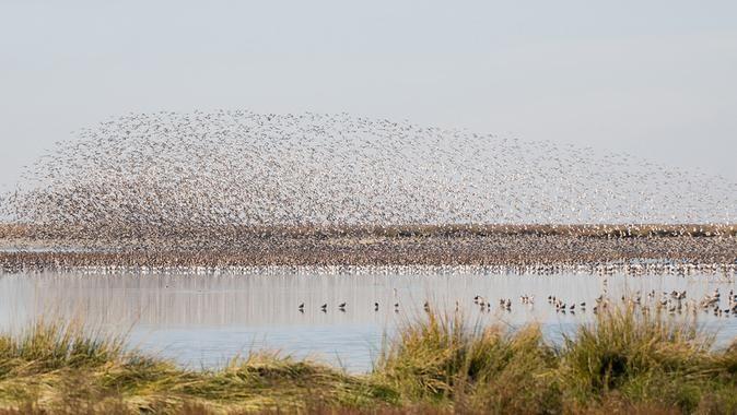 Los-arrozales-y-piscifactorias-hacen-que-las-agujas-colinegras-se-queden-en-invierno-en-Donana_image_380