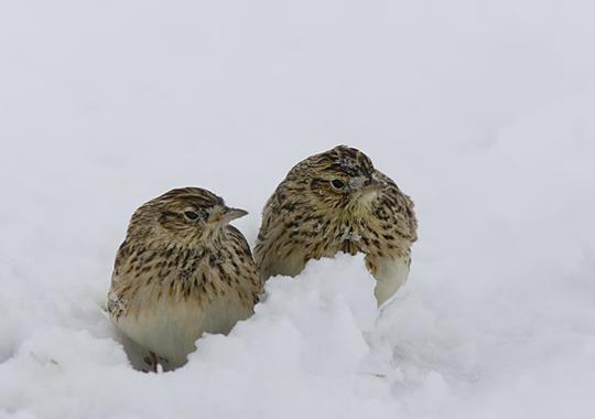 Los-pesticidas-con-neonicotinoides-afectan-a-las-aves_image_380Alondra Alauda arvensis  SEO BirdLife.