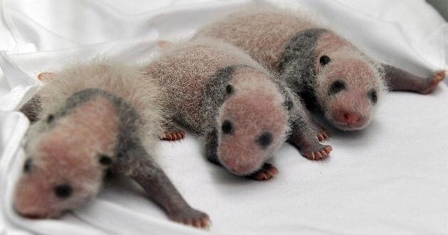 Nacen-pandas-trillizos-China-1937680
