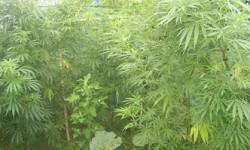 foto de marihuena