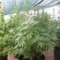 marihuana-en-betera