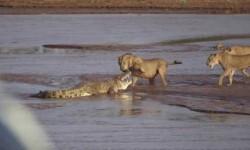 Vídeo: Leones y cocodrilo se enfrentan por elefante muerto