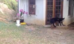 Vídeo: Perro se lleva susto con un cachorro de león