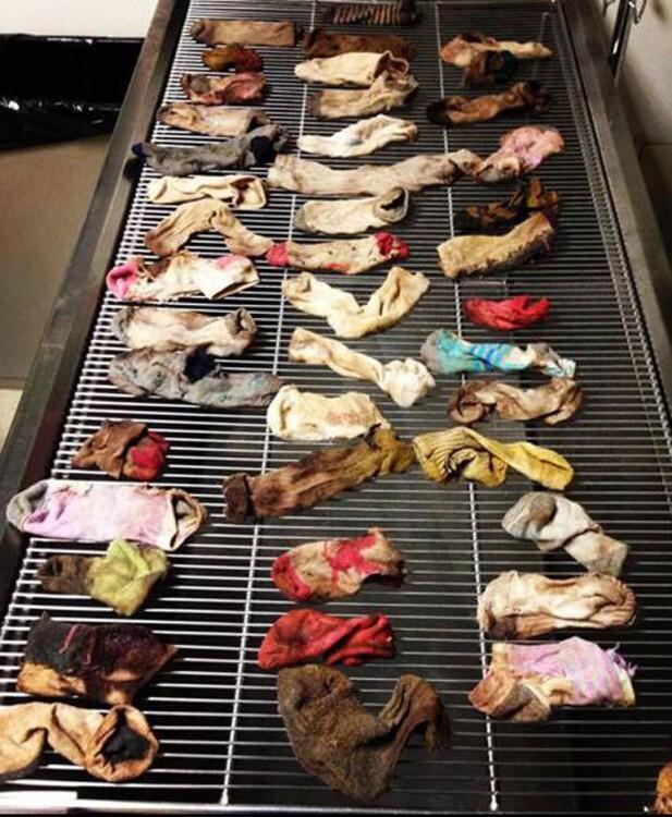 La radiografía practicada al perro muestra los calcetines en su estómago.Crédito: AP