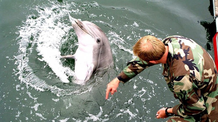 © Photo public domain The Russian Defense Ministry has assumed full administrative control over the Crimean State Oceanarium, which carries out a comprehensive combat dolphin training program