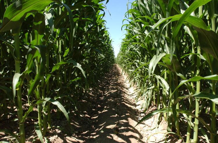 140923 Cultivo maiz_tcm7-344748