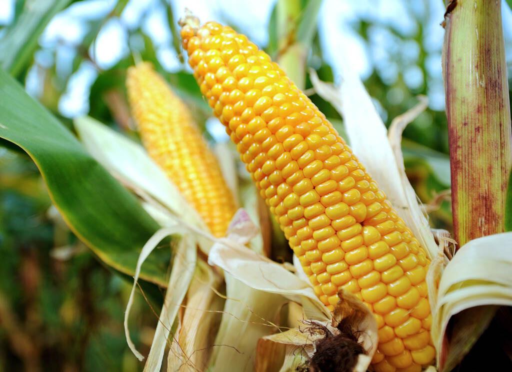 Una plantación de maíz ©BELGA_ AFP_P.HUGUEN