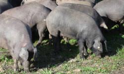 Cerdos ibéricos (comakut -Wikimedia Commons-)