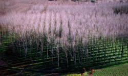 Plantación de chopos. / Antonio Gil