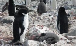 El primer pingüino de Adelia, Pygoscelis adeliae, afectado por el síndrome de la pérdida de plumaje encontrado en la Antártida. / Andrés Barbosa