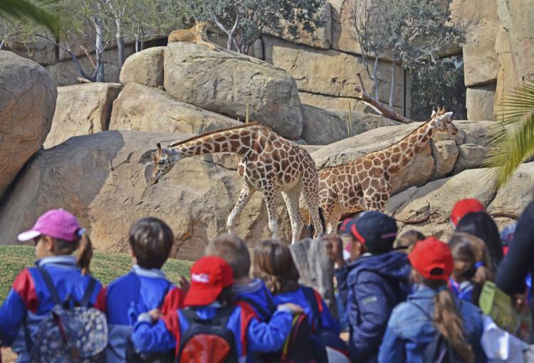 Grupo escolar en la Sabana africana de Bioparc Valencia - observando jirafas y leones