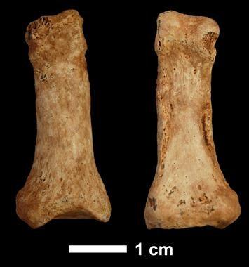 Falange de hace 1,3 millones de años hallada en la Sima del Elefante, en Atapuerca, en 2008. / CENIEH / IPHES.