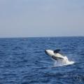 Las-orcas-del-Estrecho-avistadas-en-Portugal_image_380