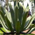 Planta de maguey (Agave salmiana). / Marisol Correa- Ascencio