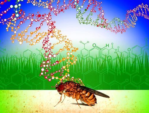 La diversidad genética presente en las poblaciones naturales de moscas de la fruta les permite adaptarse a la presencia de compuestos tóxicos ambientales. / Roberto Torres.