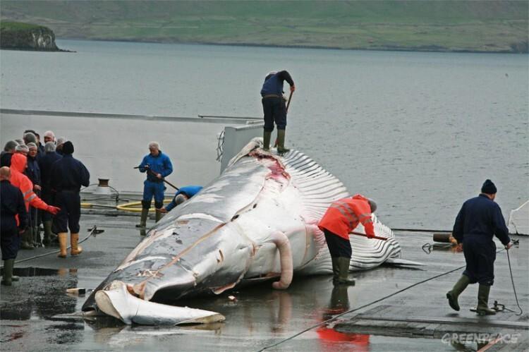 ballenas-islandia