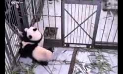 Oso panda se niega a que su cuidador lo deje