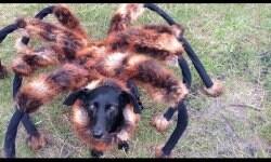Perro araña aterroriza a polacos