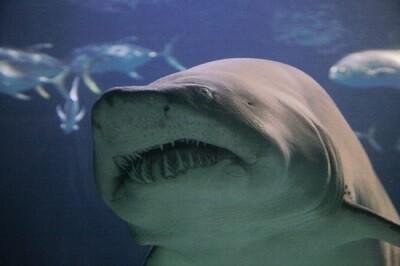 tiburon en el oceanografico