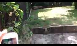 Tigre blanco devora a joven en zoológico