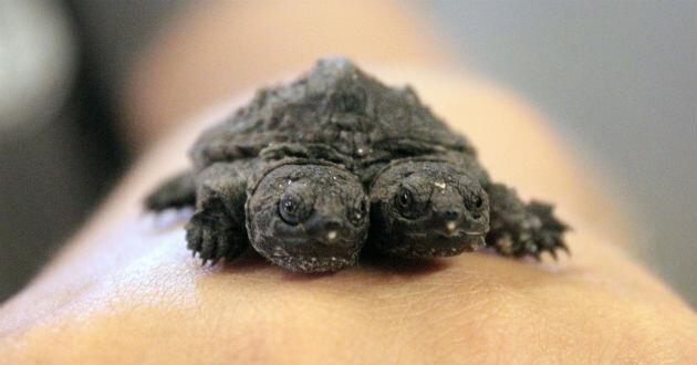 tortuga-dos-cabezas-1945273