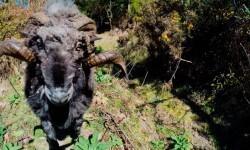 Vídeo: el carnero que derribó un drone