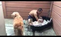 Vídeo: El perro Golden Retriever más consentido y relajado del mundo
