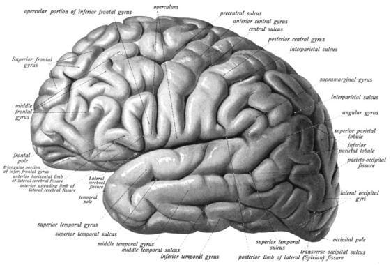 Bilingueismo-y-parkinson-comparten-las-mismas-areas-de-control-ejecutivo-en-el-cerebro_image_380
