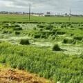 Descubren extrañas figuras en cultivos de Texcoco (Foto-Agencias)