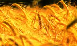 El-aumento-de-la-temperatura-reducira-la-produccion-mundial-de-trigo_image_380
