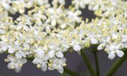 La-fragancia-de-las-flores-depende-de-los-hongos-y-bacterias-que-las-recubren_image_380