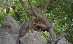 Navidad salvaje en Bioparc - fosas en Madagascar - Bioparc Valencia