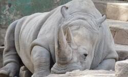 Un rinoceronte blanco.