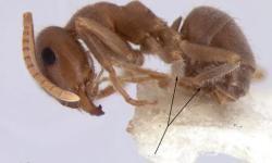 Una-hormiga-recien-descubierta-ya-esta-en-peligro-de-extincion_image_380