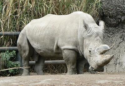 Uno de los 5 rinocerontes blancos que quedan en el mundo. (Foto-Agencias)