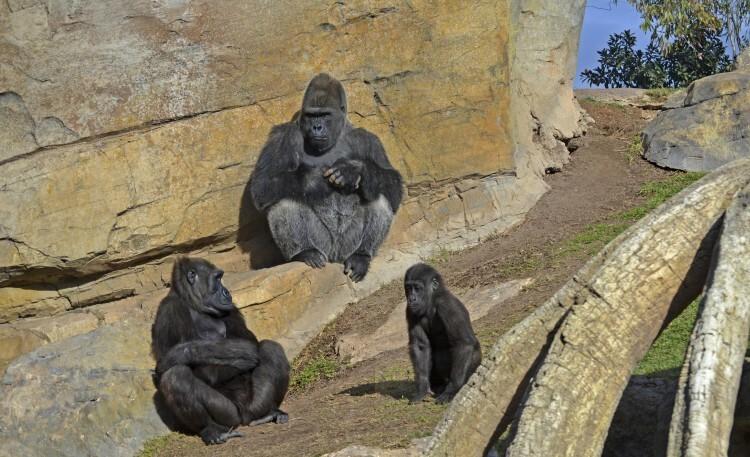 familia de gorilas - mambie ali y ebo - diciembre 2014 en Bioparc Valencia