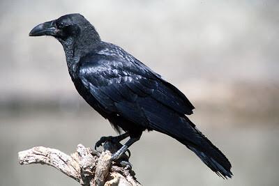 Cuervo en una zona protegida. (Foto-Archivo)