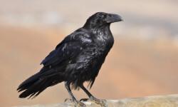 Desmitifican-la-mala-fama-de-los-cuervos_image_380