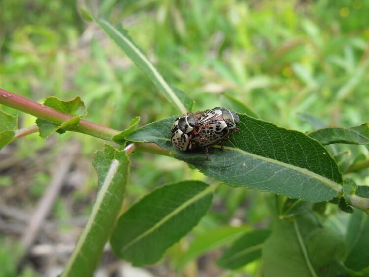 Ecarabajo Calligrapha 1