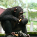 El-chimpance-mas-amenazado-en-riesgo-inminente-de-desaparecer-en-Camerun_image_380