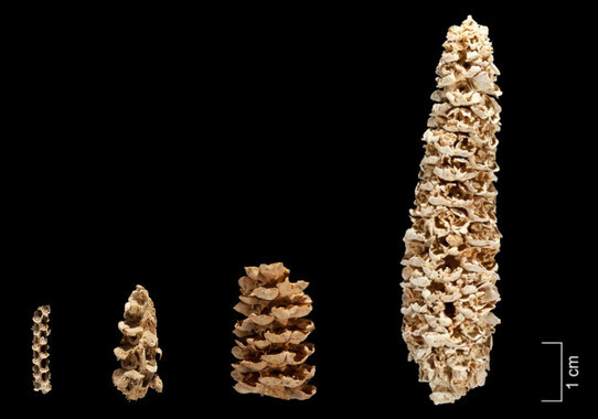 El-maiz-entro-en-el-suroeste-de-EE-UU-hace-4.000-anos-a-traves-de-la-montana_image_380