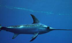 El-pez-espada-del-Atlantico-se-ha-recuperado-gracias-a-la-investigacion-y-la-gestion-internacional_image_380