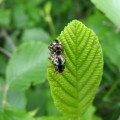 Escarabajo Calligrapha 2