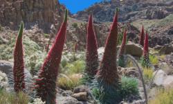 La-flora-y-fauna-del-Teide-en-peligro-por-la-abeja-de-la-miel_image_380
