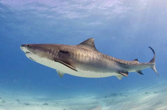 Los-ejemplares-jovenes-de-tiburon-tigre-se-quedan-cerca-de-la-costa-brasilena_image_380
