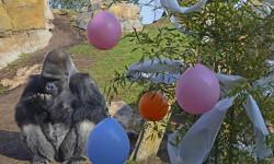 REYES MAGOS 2015 - el gorila Mambie descubriendo nueces y avellanas - BIOPARC VALENCIA