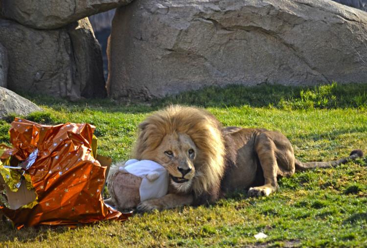 REYES MAGOS 2015 - el león macho Teimoso descubriendo los regalos - BIOPARC VALENCIA